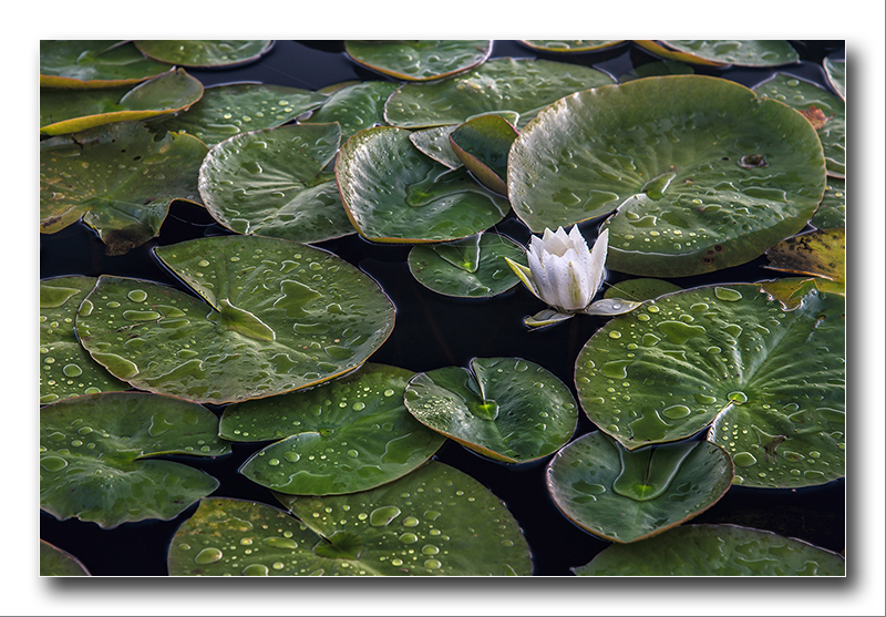 Alan Gray - Alba Native Water Lily_