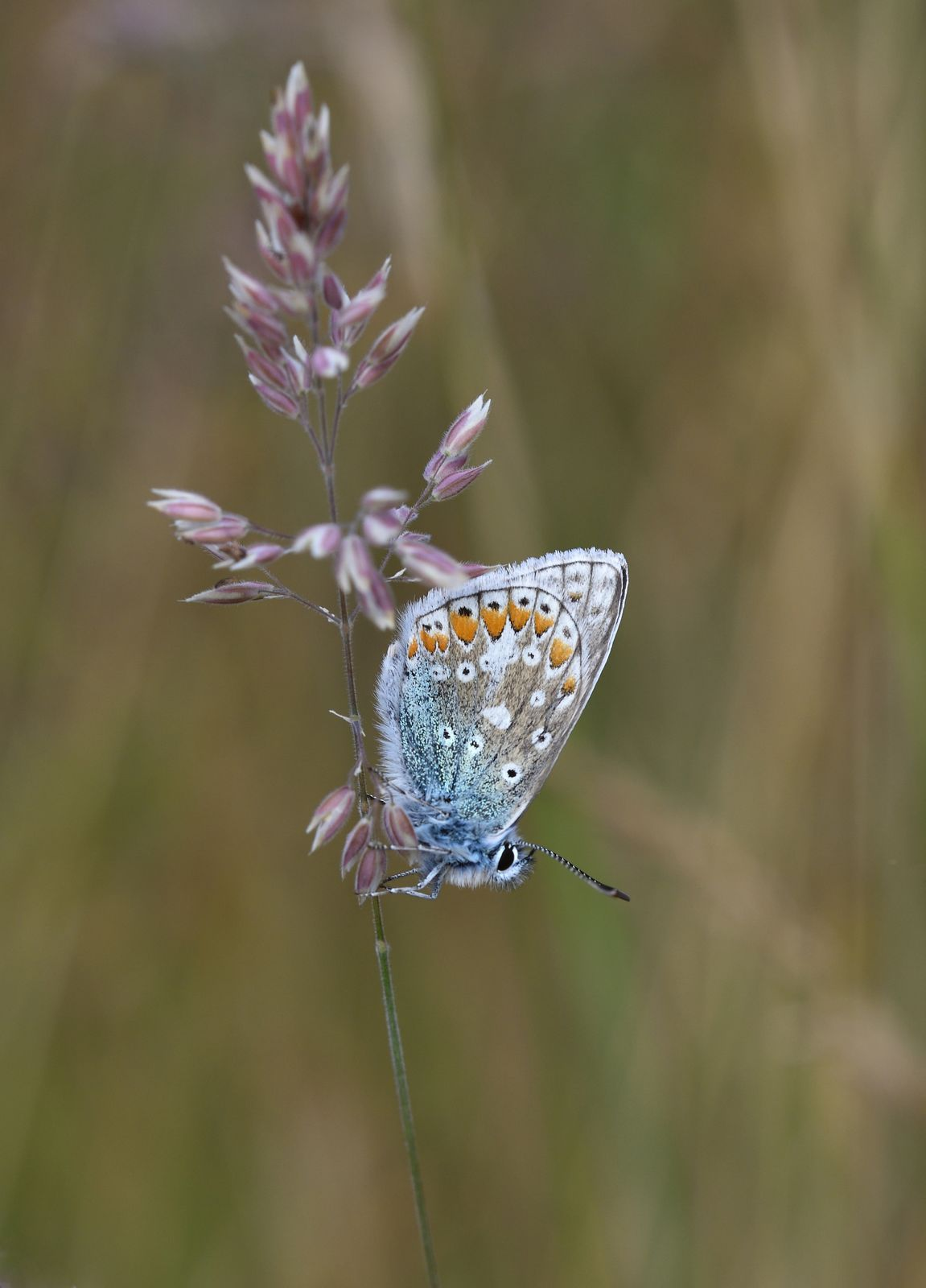 Macro Common Blue 241