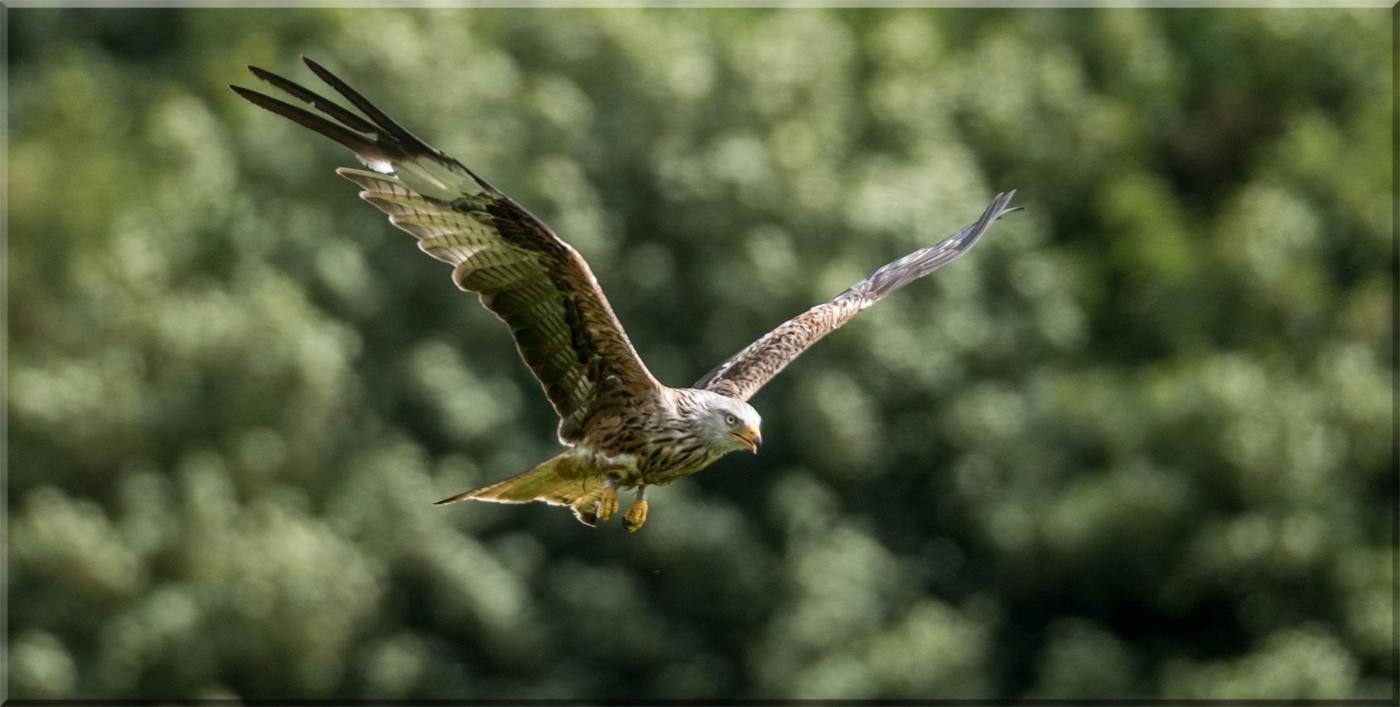 Red Kite182
