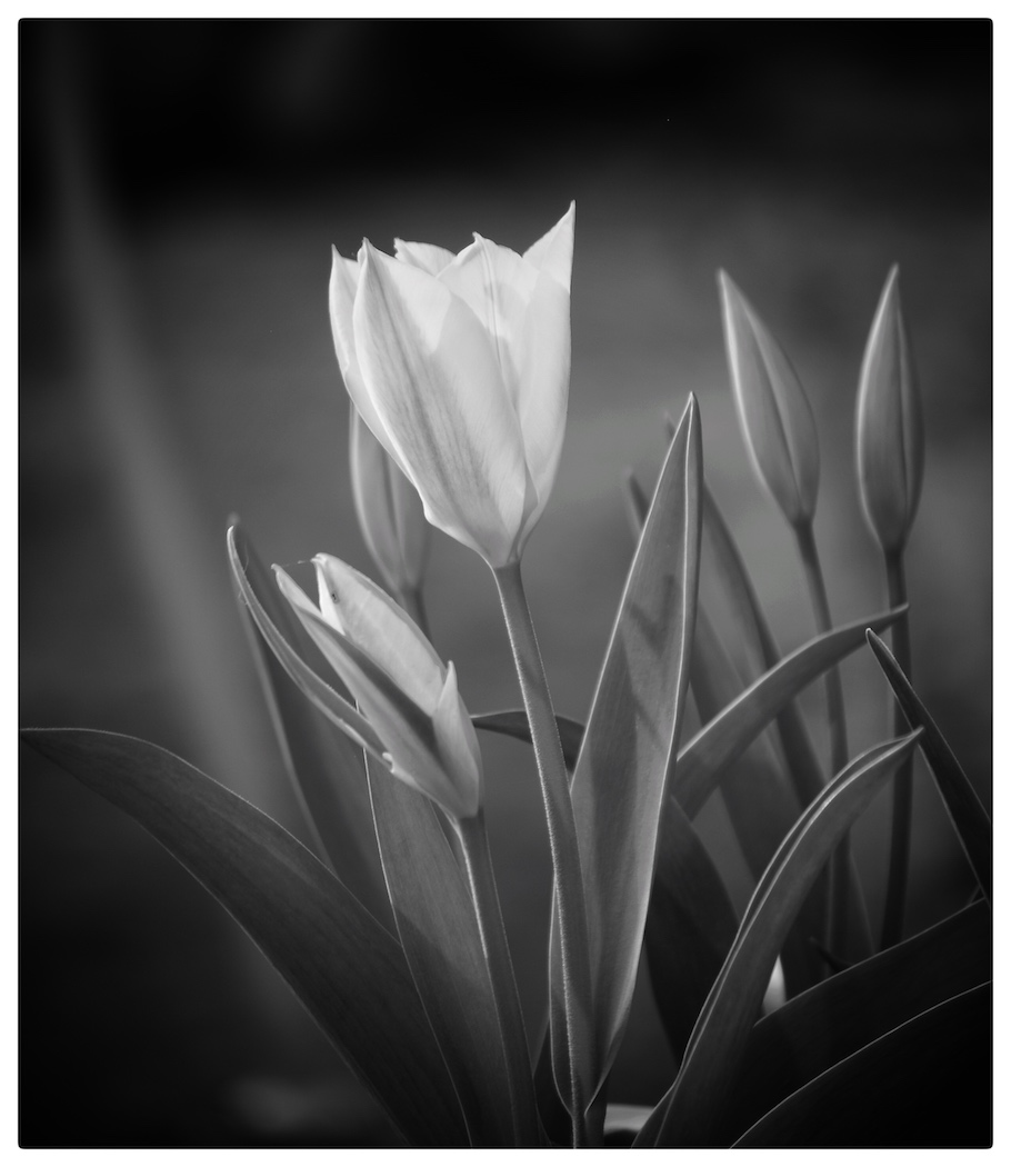Tulips light and shadow 163 Mono