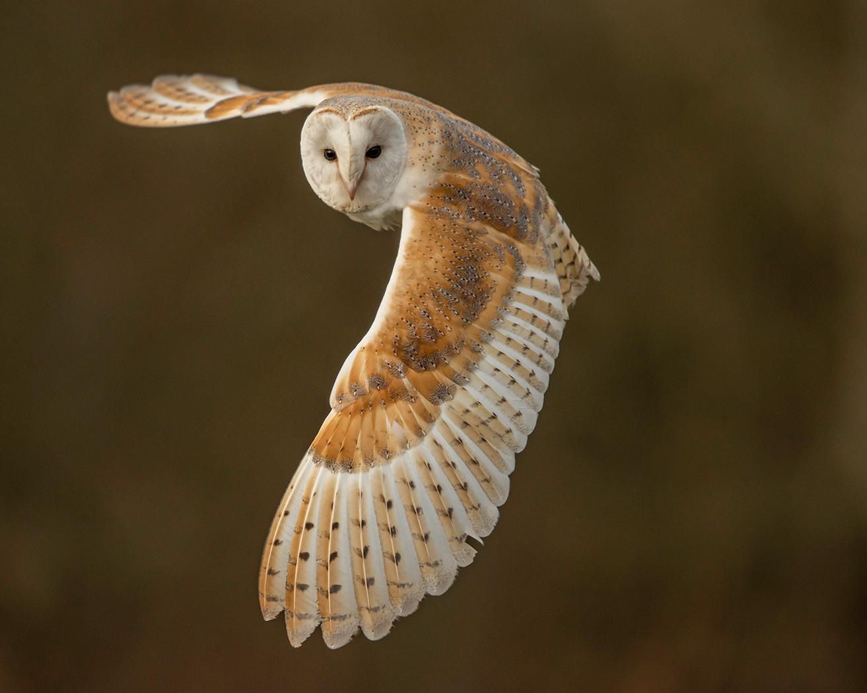 Barn-Owl_270