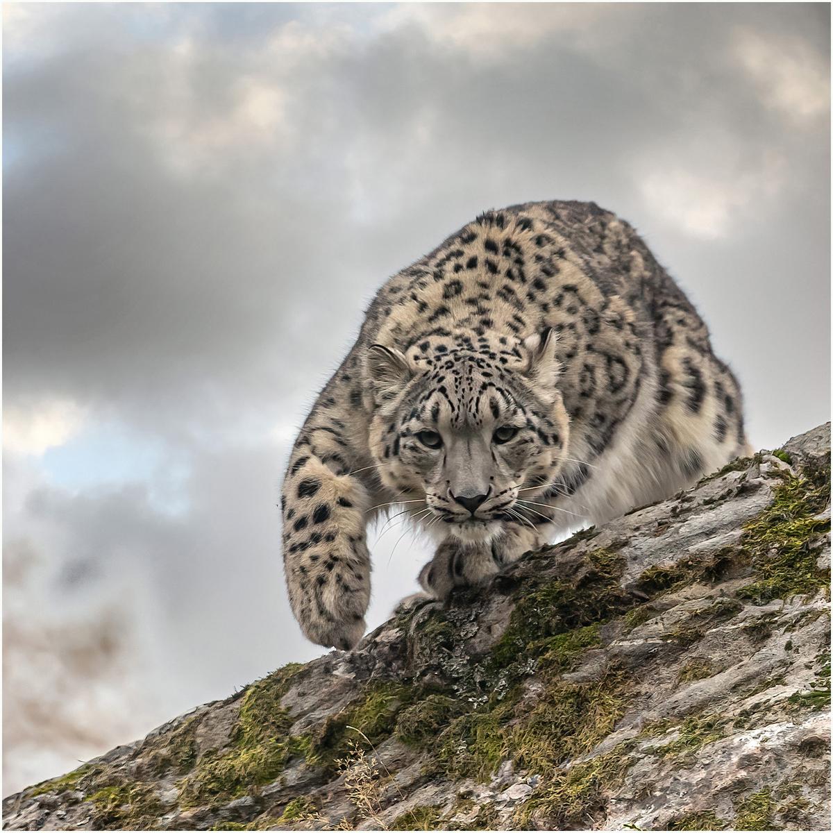 Snow-Leopard_204