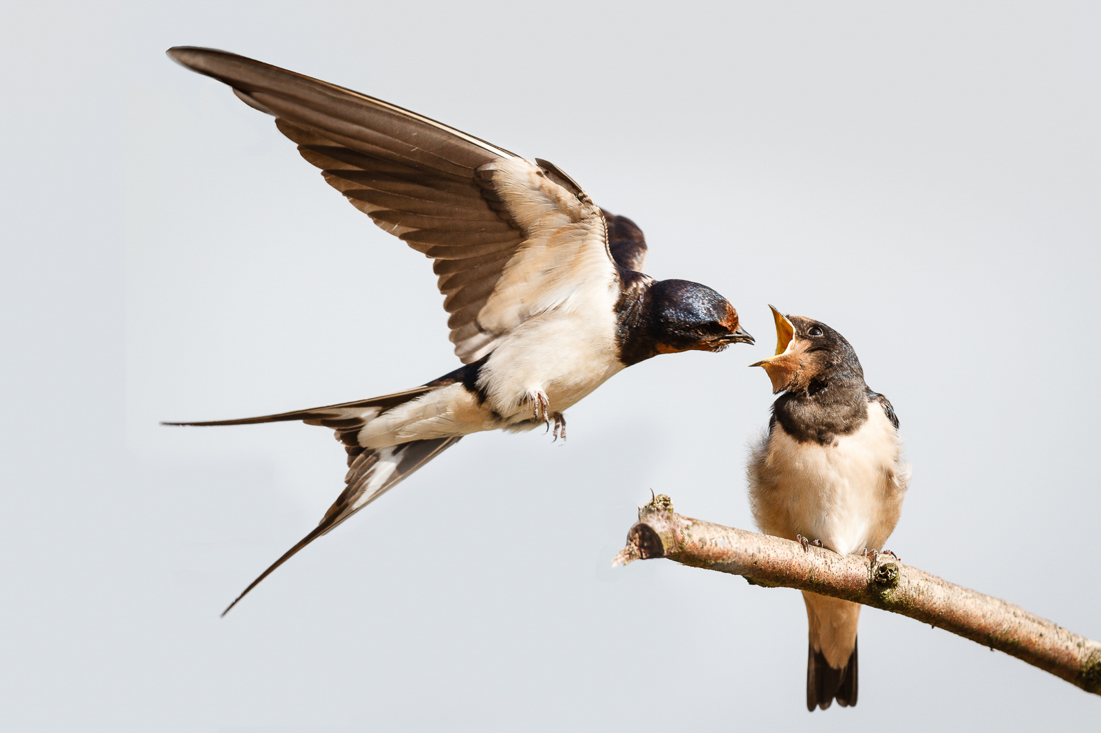 Swallow! Mem 243