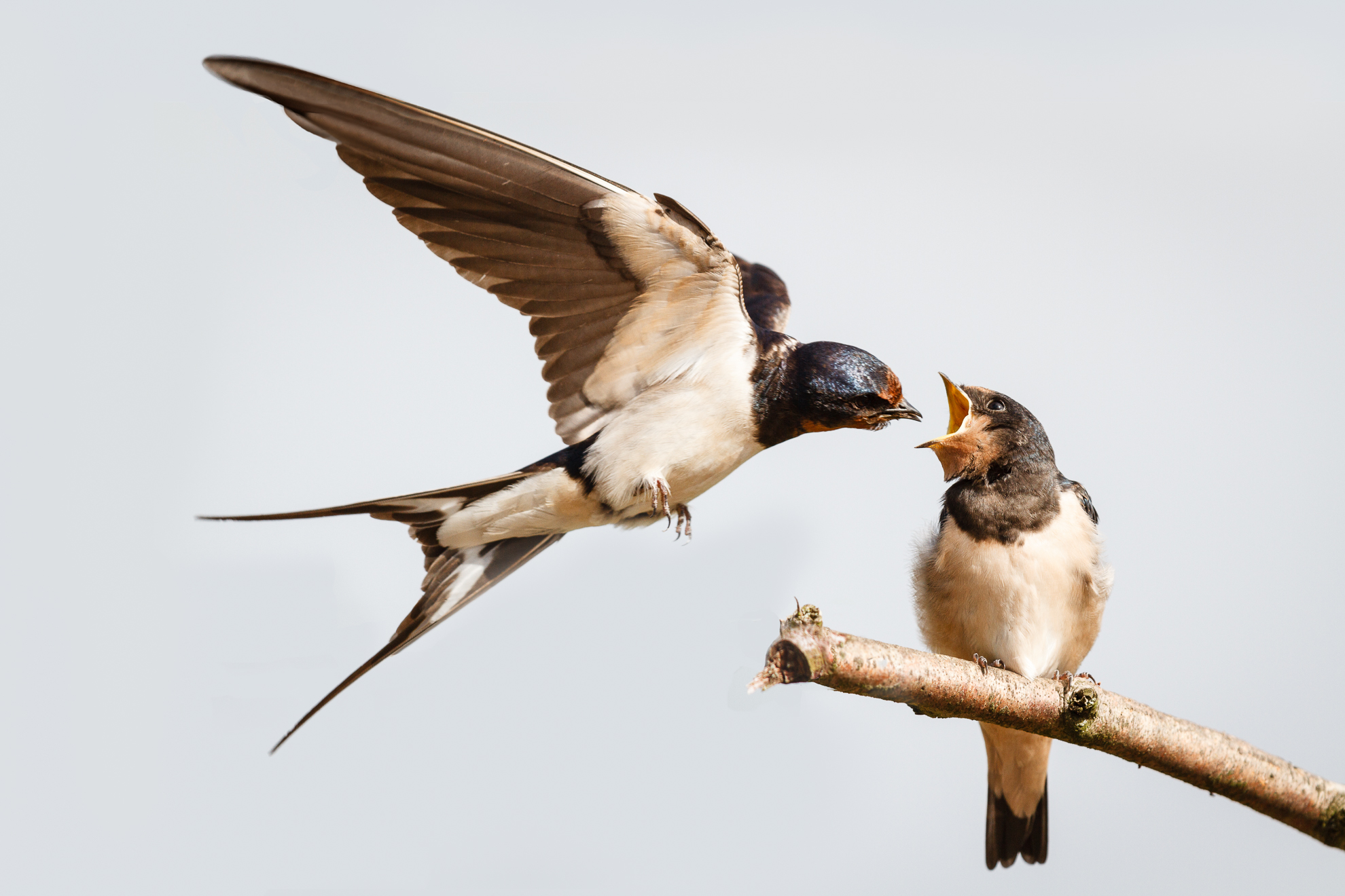 2 Swallow feeding young