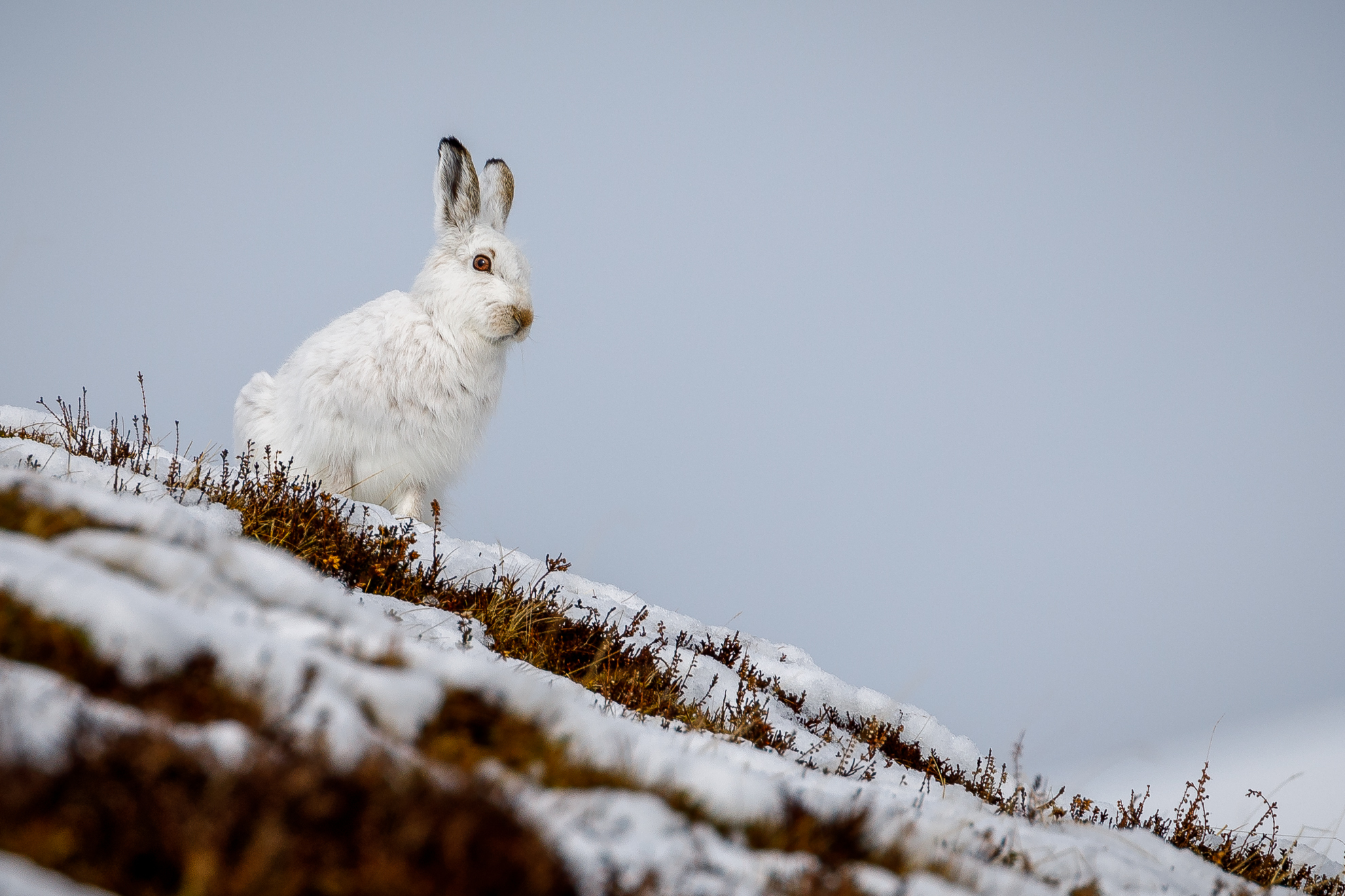 6 Mountain Hare