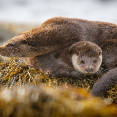 10 Otters (mother and cub) in Loch na Cille