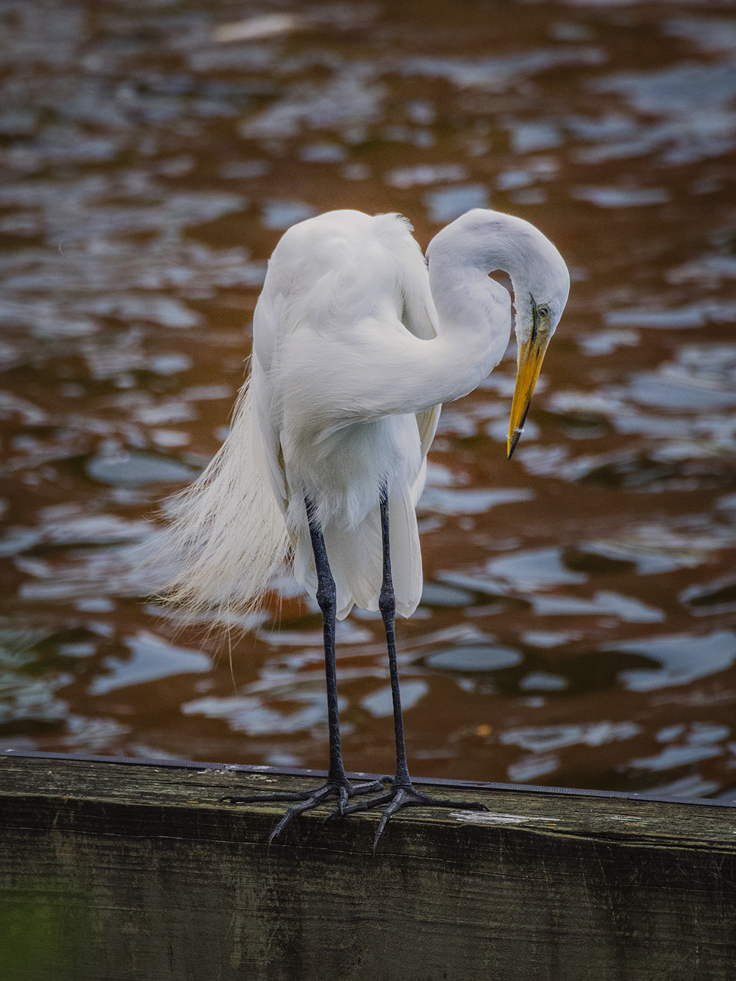 Great Egret - Richard Hoskins