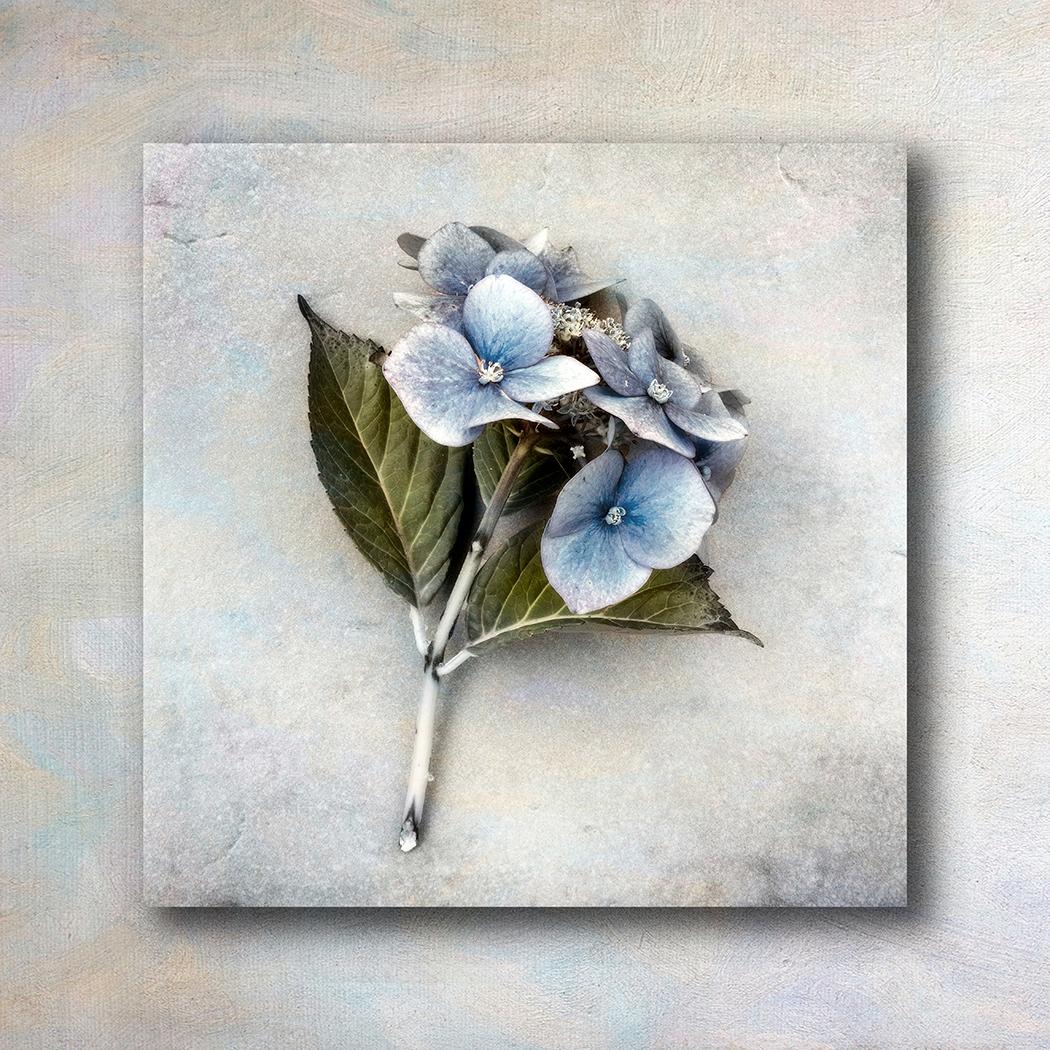 Hydrangea - Peter Paterson