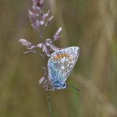 Macro Common Blue - Brian McWhinnie