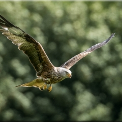 Red Kite - Malcolm Marshall