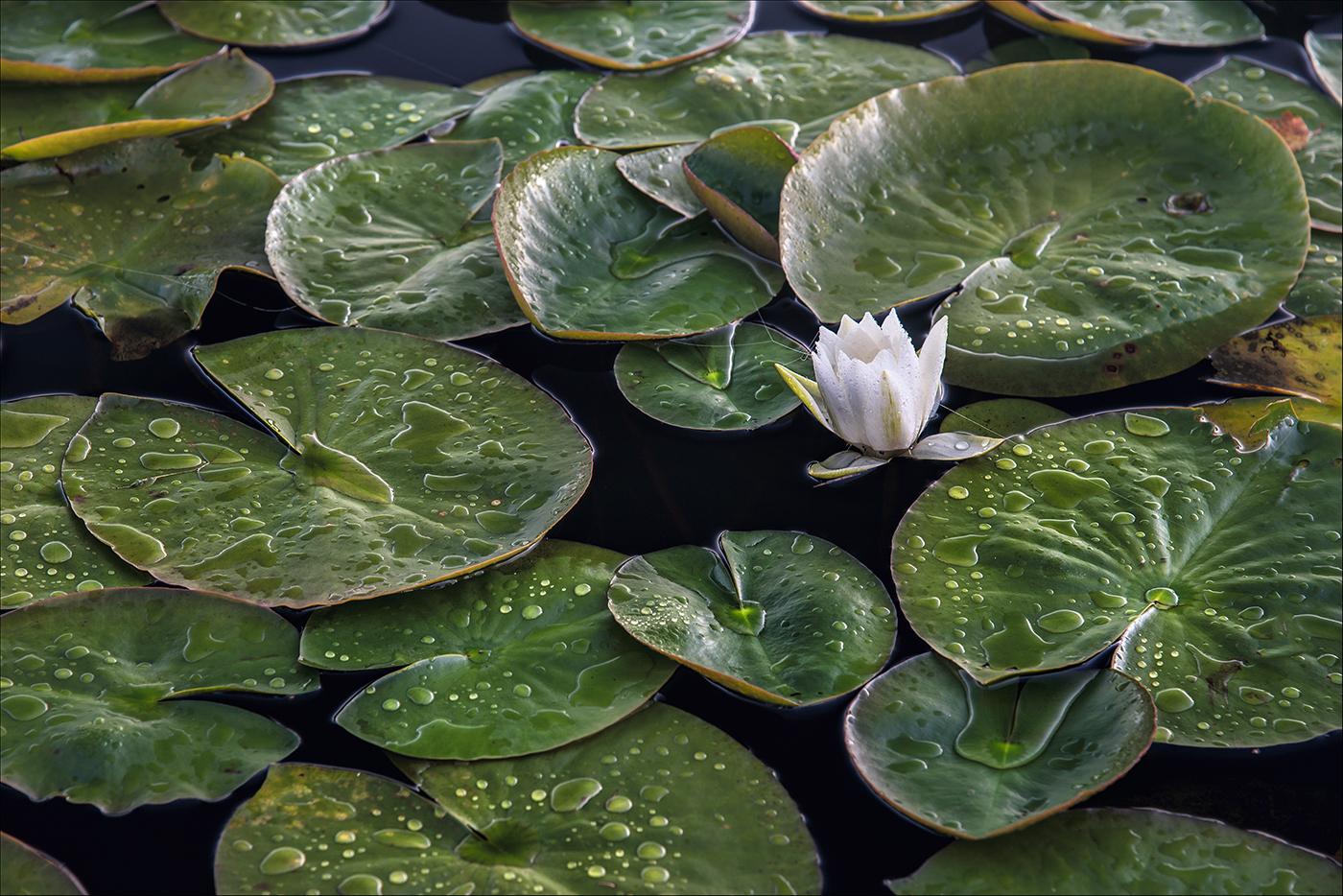 Alba Native Water Lily_ member 149