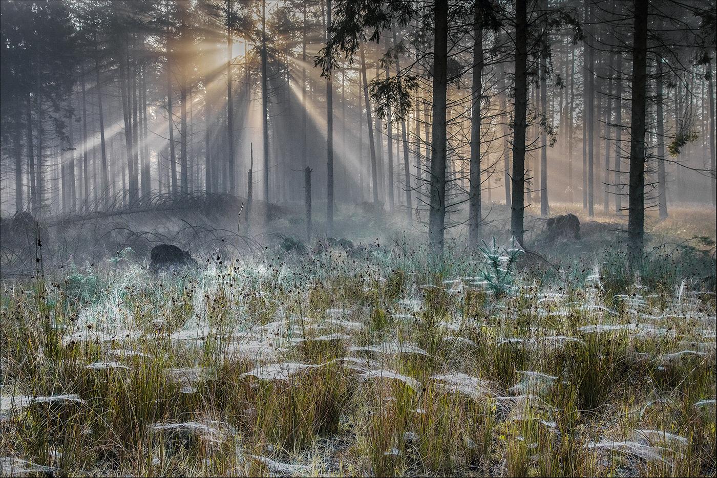 Daybreak in spider woods_ member 149
