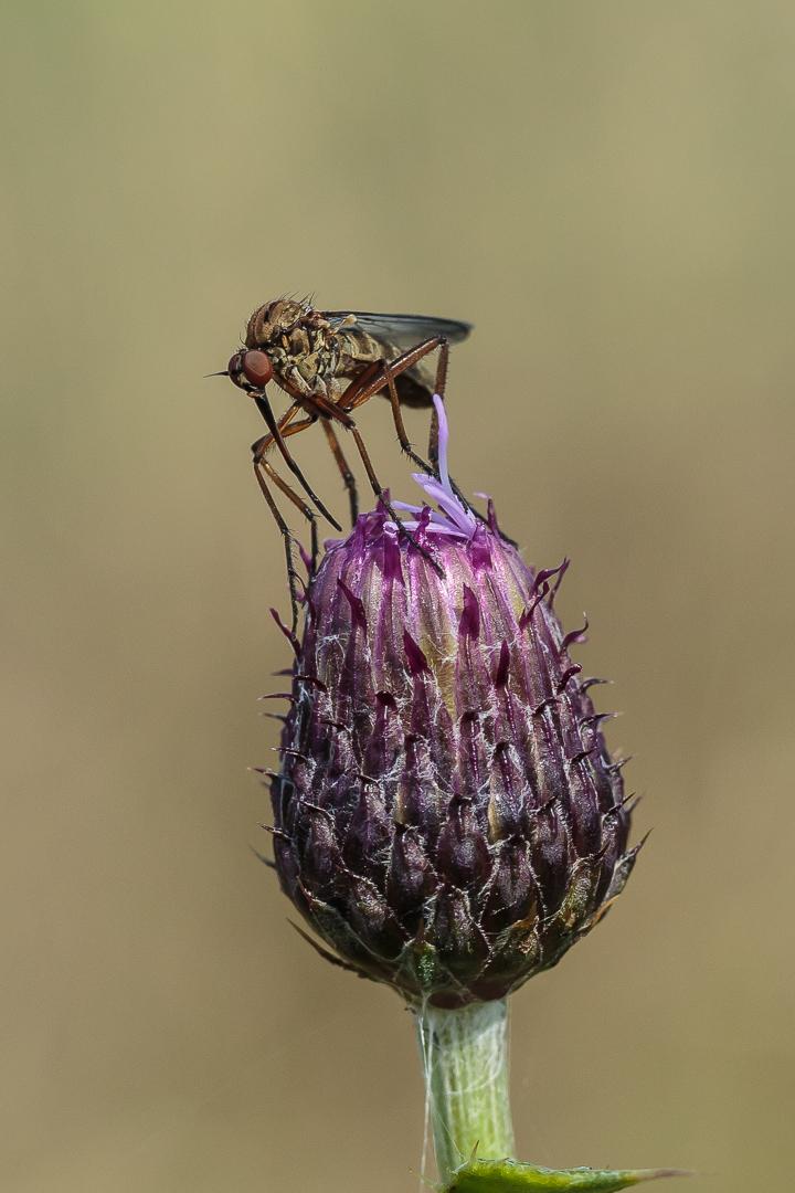 Empid Fly - Mem029