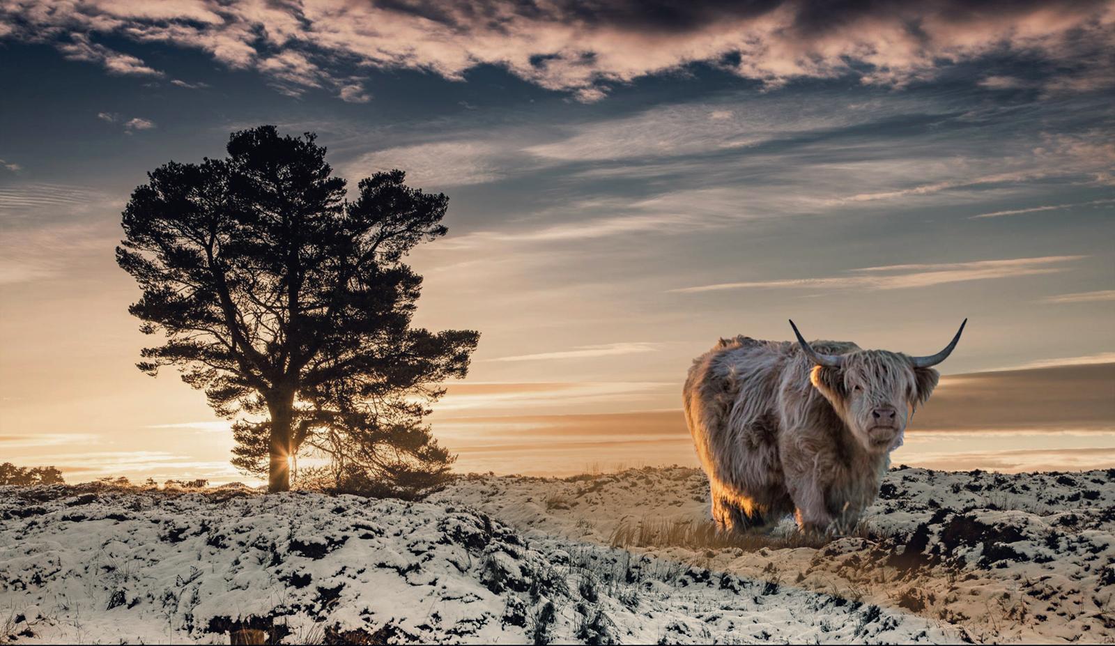 Highland-Coo-Sunset_101
