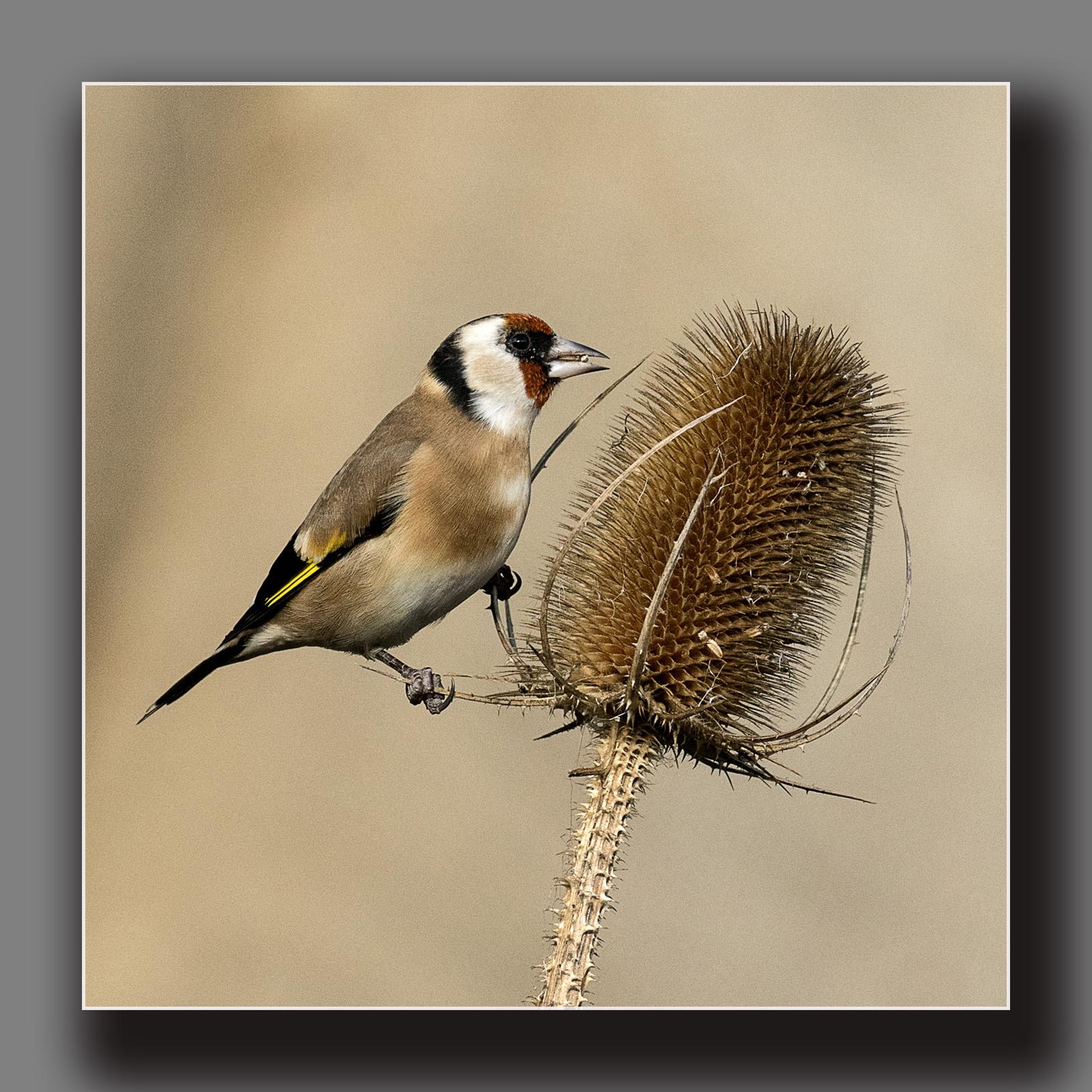 Goldfinch feeding ns