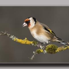Goldfinch ns
