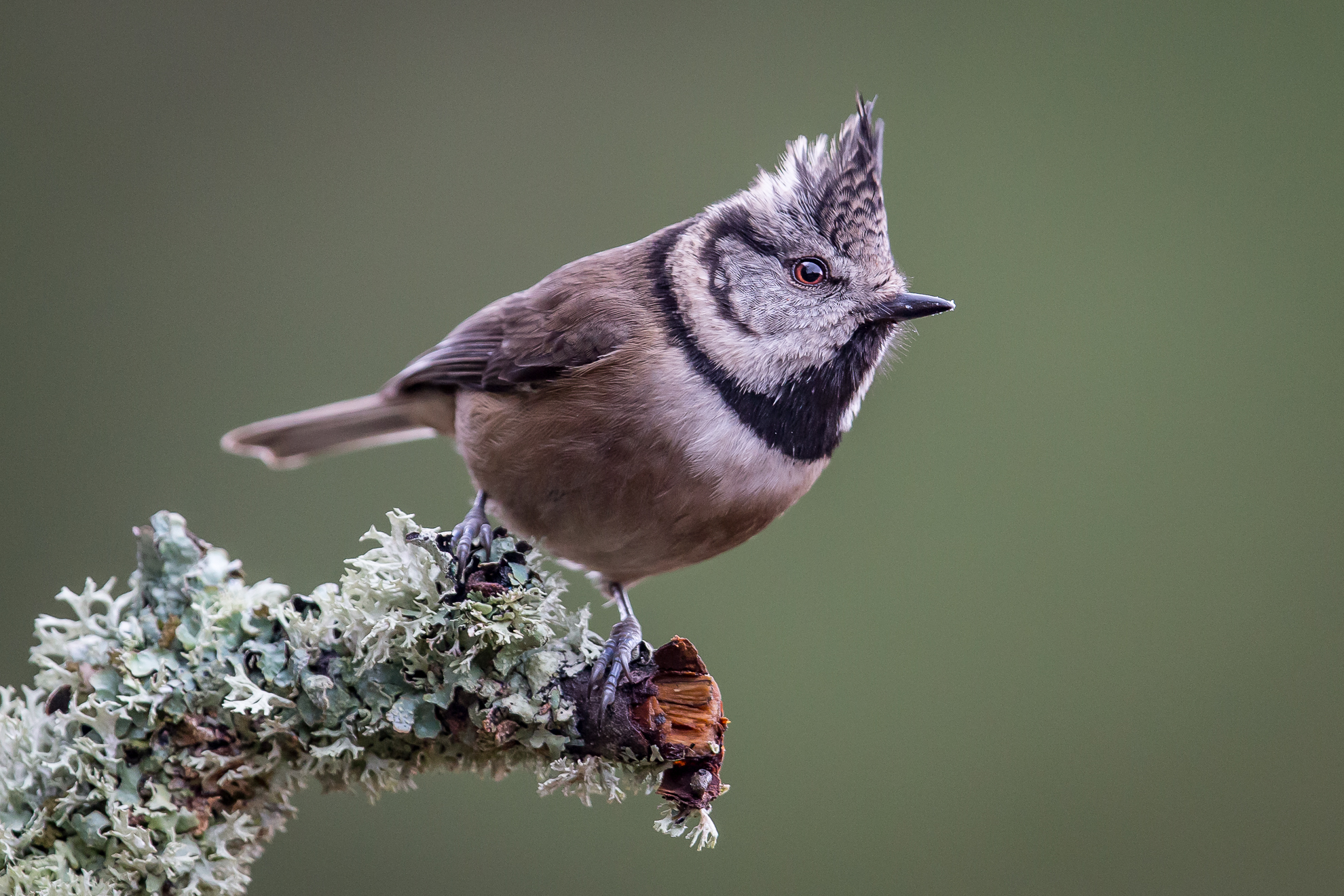 1 Crested Tit