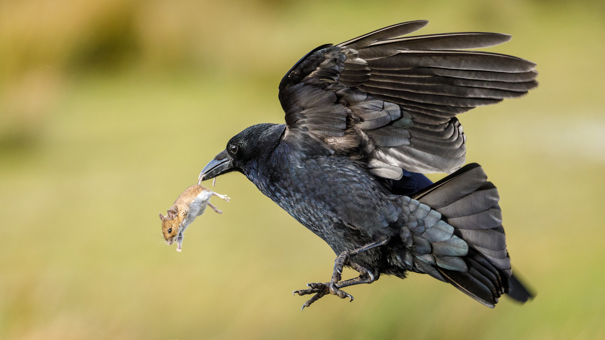 4 Crow with catch