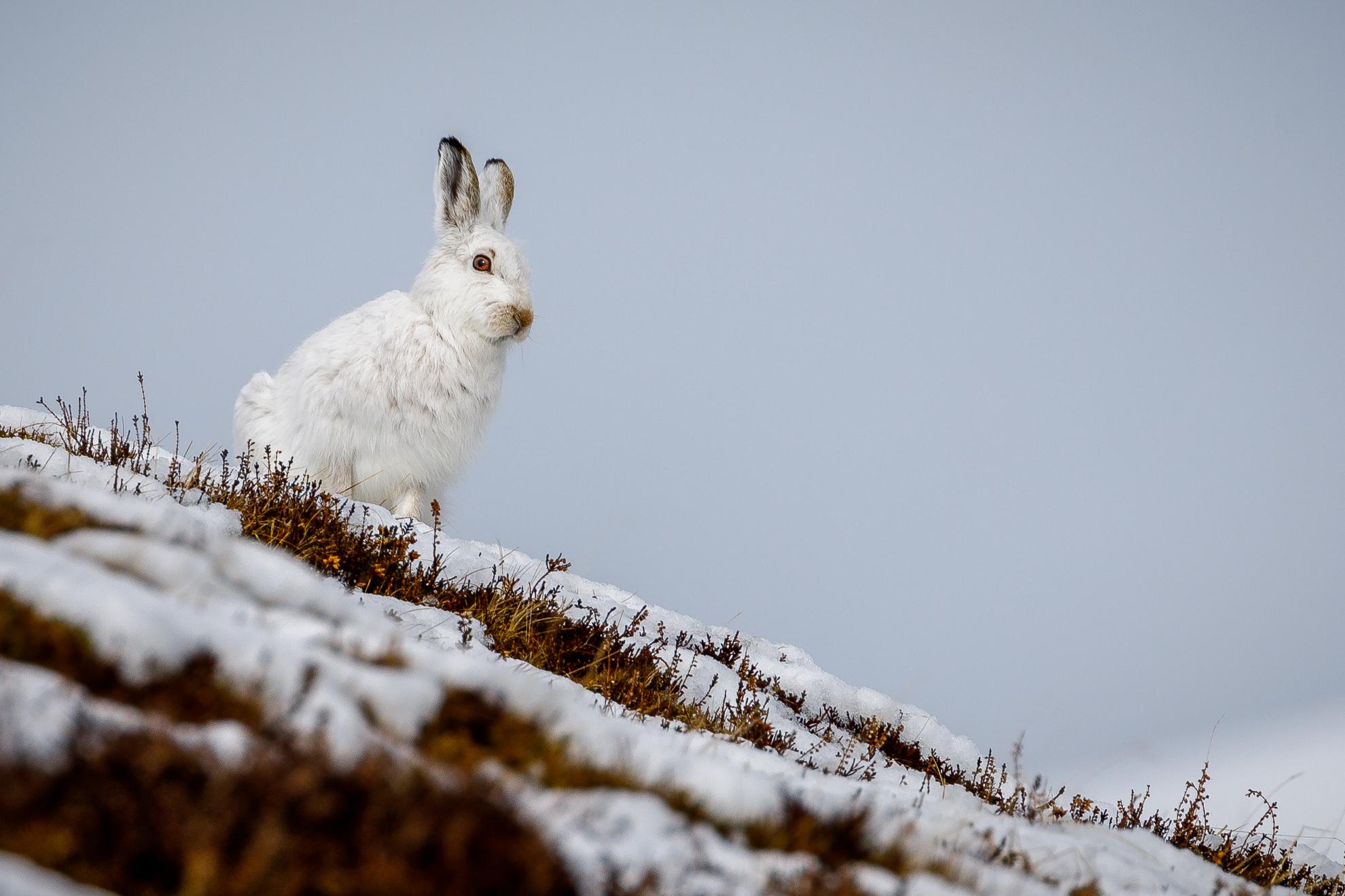 6 Mountain Hare