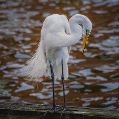 Great Egret - Richard Hoskins