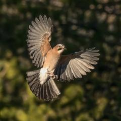 Jay (flight) - Thomas Craig