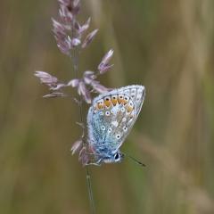 Macro Common Blue - Brian McWhinnie