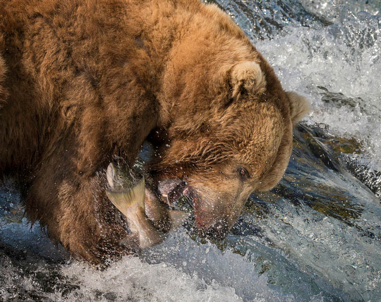 Brown-Bear-Fishing-Peter-Paterson